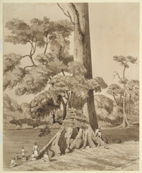 A Semeel Tree, near Hetounra. December 1853